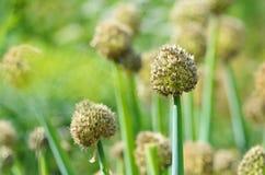 Fleur d'un oignon Photo libre de droits