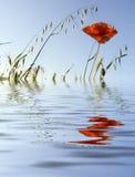 Fleur d'un pavot Image libre de droits