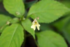 Fleur d'un petit baume Images stock