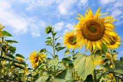 Fleur d'un tournesol jaune lumineux contre le ciel Images libres de droits