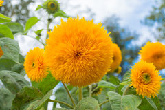 Fleur d'un tournesol sous forme de boule Image stock