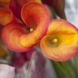 Fleur d'un zantedeschia orange et d'une feuille partielle Photographie stock