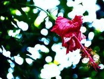 Fleur d'Unbloomed au printemps photographie stock libre de droits