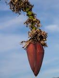 Fleur d'une banane Photos stock