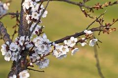 Fleur d'une cerise Images stock