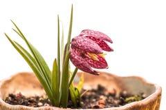 Fleur d'une jonquille à carreaux Photo libre de droits