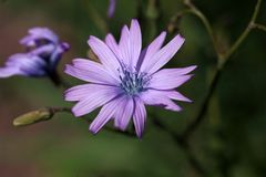 Fleur d'une laitue de montagne Images stock