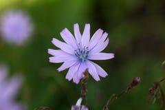 Fleur d'une laitue de montagne Photographie stock