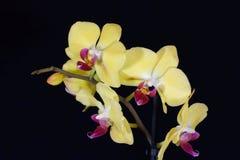 Fleur d'une orchidée de phalaenopsis colorée par jaune Photographie stock libre de droits