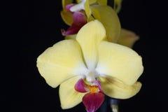 Fleur d'une orchidée de phalaenopsis colorée par jaune Images libres de droits
