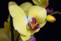 Fleur d'une orchidée de phalaenopsis colorée par jaune Photographie stock