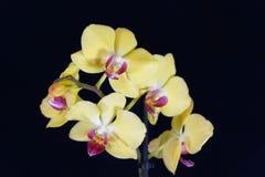Fleur d'une orchidée de phalaenopsis colorée par jaune Images stock