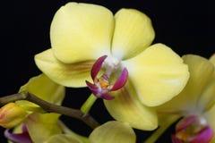 Fleur d'une orchidée de phalaenopsis colorée par jaune Photos stock