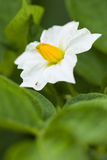 Fleur d'une pomme de terre Photos libres de droits