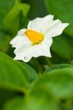 Fleur d'une pomme de terre Photographie stock