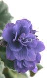 Fleur d'une violette Photo stock