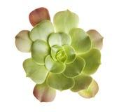 Fleur d'usine de cactus d'isolement sur le blanc image libre de droits