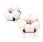 Fleur d'usine de coton Image libre de droits
