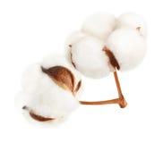Fleur d'usine de coton photos stock