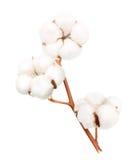 Fleur d'usine de coton d'isolement photographie stock