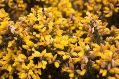 Fleur d'usine de forsythia en parc de Birmingham photographie stock