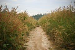Fleur d'usine de mauvaise herbe de pedicellarum de Pennisetum dans le domaine large Photos libres de droits