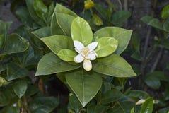 Fleur d'usine de maximum d'agrume photographie stock