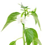 Fleur d'usine de poivron Image stock