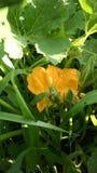 Fleur d'usine de potiron Photo stock