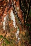 Fleur d'usine de vanille, Madagascar Images libres de droits