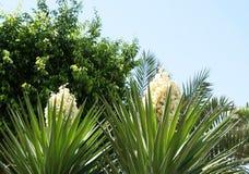 Fleur d'usine de yucca images libres de droits