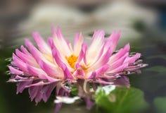 A fleur d eau Royalty Free Stock Image