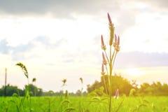 Fleur dans la ferme de riz Photo stock