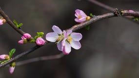 Fleur dans la fleur de pêche Photographie stock