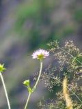 Fleur dans la montagne d'alpin en Suisse Photo libre de droits