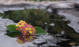Fleur dans la pierre et l'étang Image stock