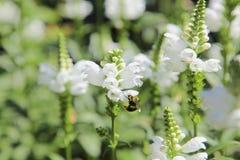 Fleur dans le jardin, Canada Photo libre de droits