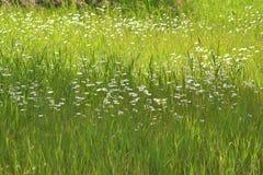 Fleur dans le sauvage avec l'herbe images libres de droits
