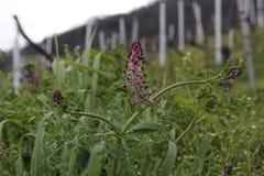 Fleur dans le vignoble Photos stock