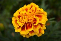 Fleur dans les espaces verts Image stock