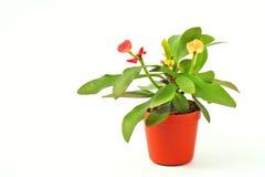 Fleur dans un pot, fond blanc Photographie stock