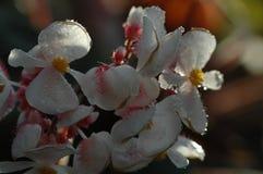 fleur de bégonia Photographie stock