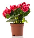 Fleur de bégonia Photos libres de droits