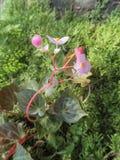 fleur de bégonia Photographie stock libre de droits