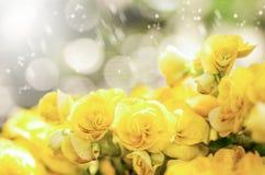 Fleur de bégonia de rose de jaune Images stock
