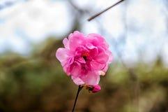Fleur de bégonia en parc Images libres de droits