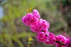 Fleur de bégonia en parc Photos stock