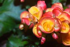 Fleur de bégonias Photo stock
