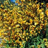 Fleur de baie de Calafate, San Carlos de Bariloche, Argentine Image libre de droits