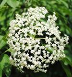 Fleur de baie de sureau Photos libres de droits
